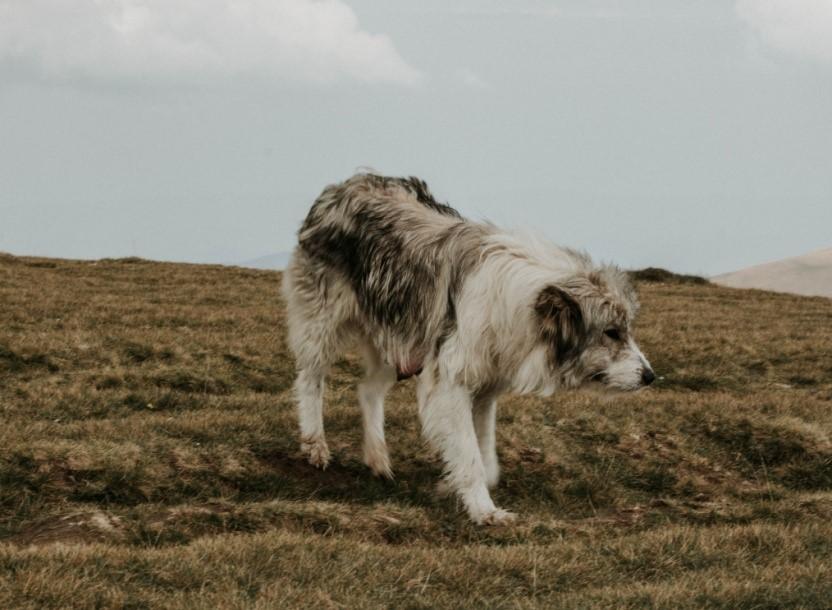 herdehund
